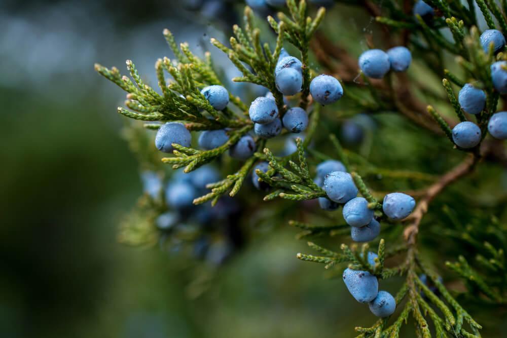 Juniper Uses, Side Effects & Health Benefits