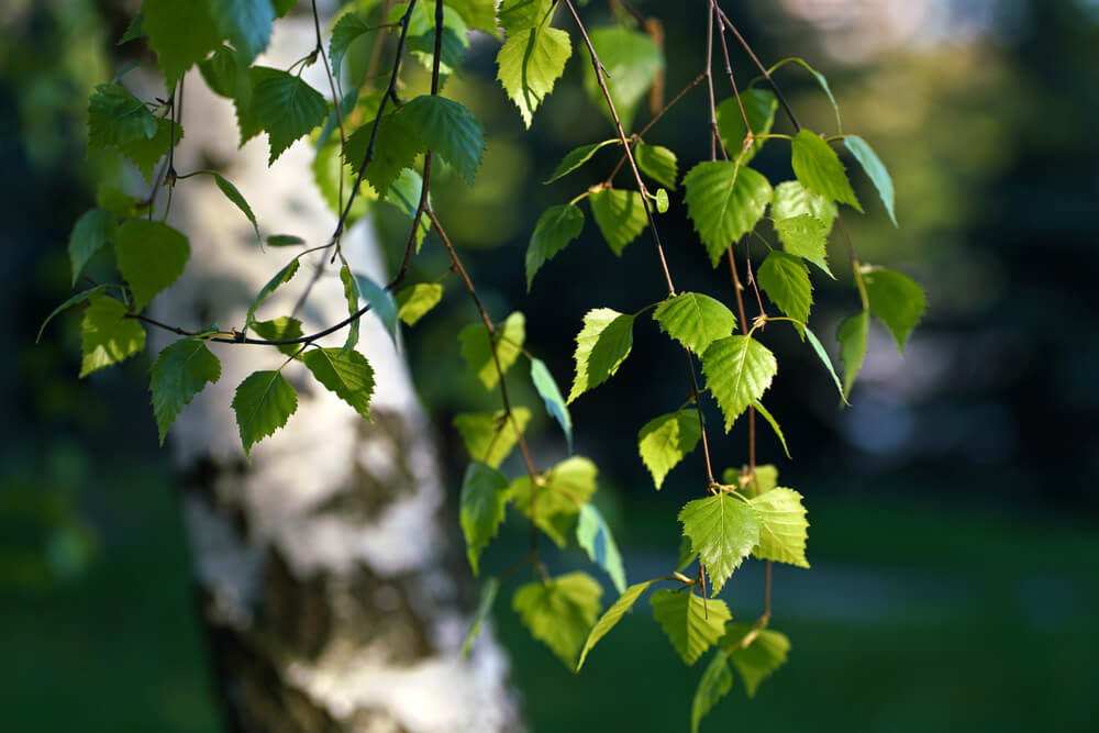Birch Leaf Uses, Side Effects & Health Benefits